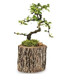 Doğal kütükte S bonsai ağacı  Rize çiçek servisi , çiçekçi adresleri