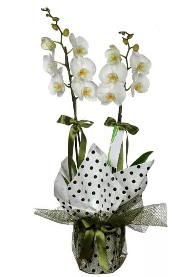 Çift Dallı Beyaz Orkide  Rize ucuz çiçek gönder