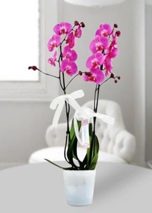 Çift dallı mor orkide  Rize İnternetten çiçek siparişi