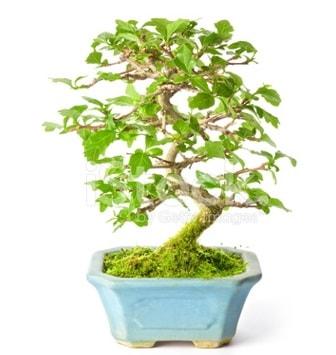 S zerkova bonsai kısa süreliğine  Rize uluslararası çiçek gönderme