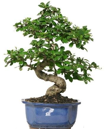 21 ile 25 cm arası özel S bonsai japon ağacı  Rize çiçek online çiçek siparişi
