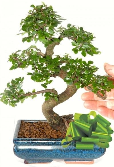 Yaklaşık 25 cm boyutlarında S bonsai  Rize online çiçekçi , çiçek siparişi