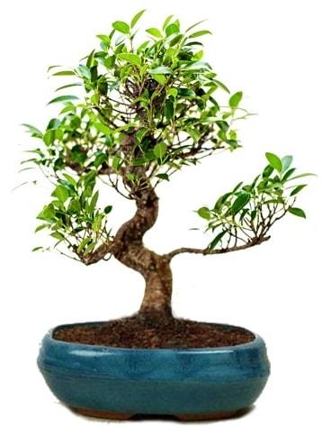 25 cm ile 30 cm aralığında Ficus S bonsai  Rize 14 şubat sevgililer günü çiçek