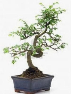 S gövde bonsai minyatür ağaç japon ağacı  Rize çiçek servisi , çiçekçi adresleri