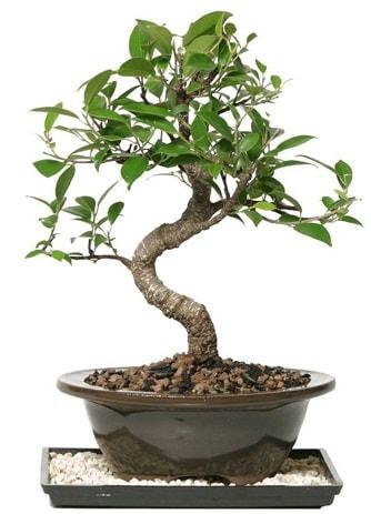 Altın kalite Ficus S bonsai  Rize çiçek online çiçek siparişi  Süper Kalite