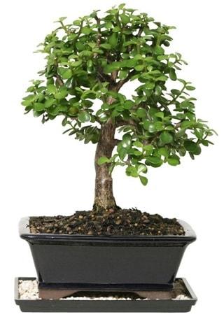 15 cm civarı Zerkova bonsai bitkisi  Rize online çiçekçi , çiçek siparişi