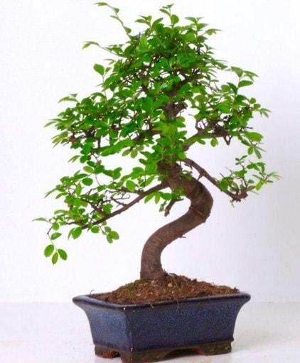 S gövdeli bonsai minyatür ağaç japon ağacı  Rize 14 şubat sevgililer günü çiçek