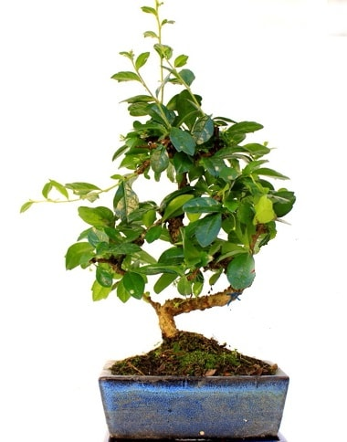 S gövdeli carmina bonsai ağacı  Rize anneler günü çiçek yolla  Minyatür ağaç