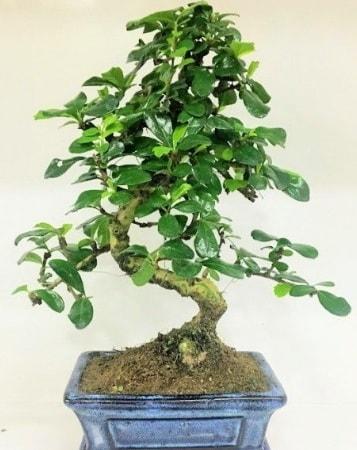 Zelkova S gövdeli Minyatür ağaç Bonzai  Rize hediye sevgilime hediye çiçek