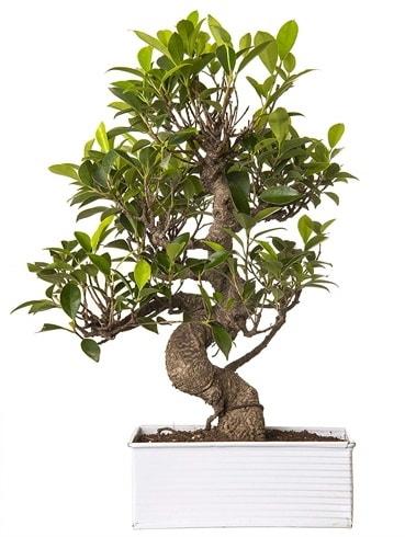 Exotic Green S Gövde 6 Year Ficus Bonsai  Rize 14 şubat sevgililer günü çiçek