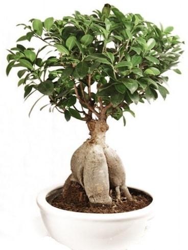 Ginseng bonsai japon ağacı ficus ginseng  Rize uluslararası çiçek gönderme