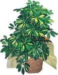 Rize çiçek gönderme sitemiz güvenlidir  Schefflera gold